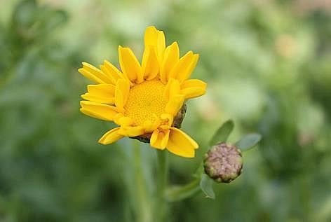 大葉春菊の花?