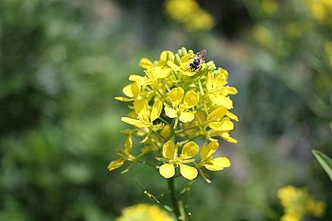 高菜の菜の花♪