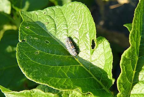 ナナホシテントウの幼虫?