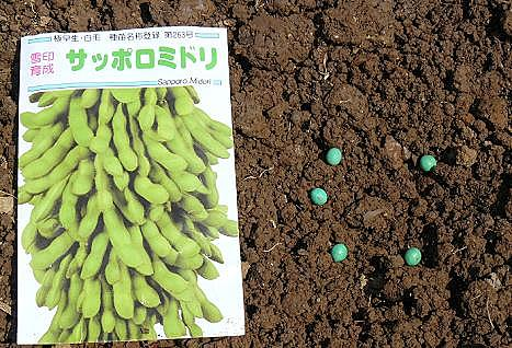 早生の枝豆