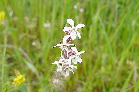 白い小花♪