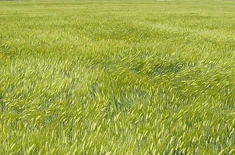 麦が揺れてる♪