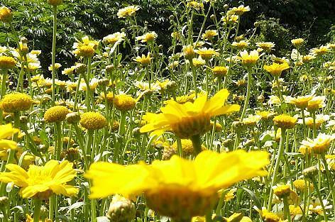 春菊の花盛り♪
