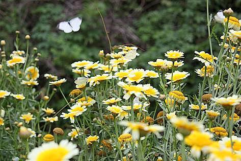 春菊と蝶♪