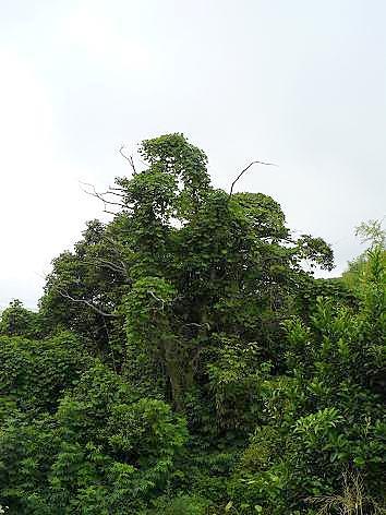 カラスの木♪