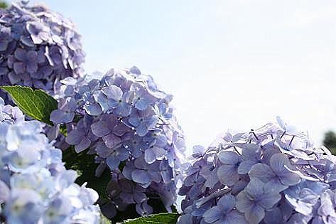 薄いブルーと紫♪