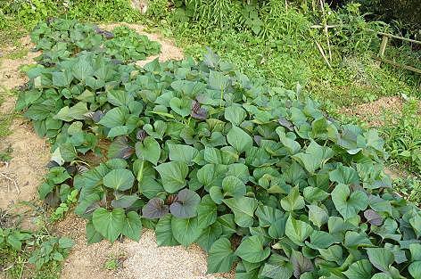 サツマイモ苗