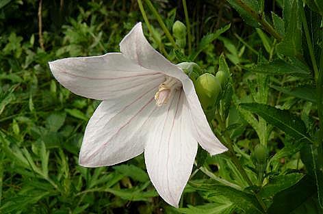 桔梗の白い花♪