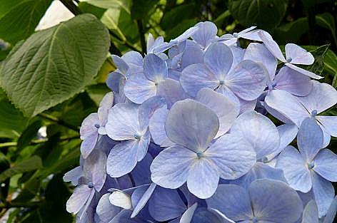 畑の紫陽花♪