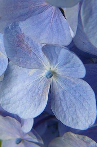 紫陽花の蕾♪