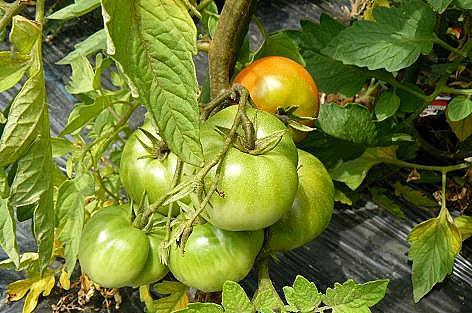 世界一大きなトマト??