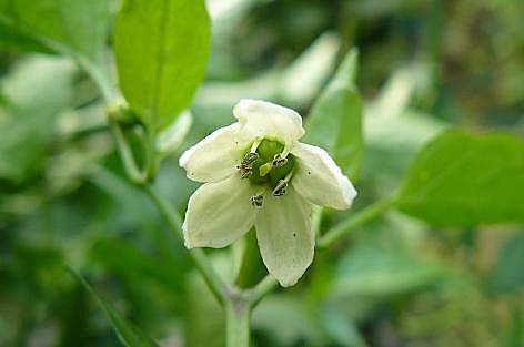 ジャンボシシトウの花