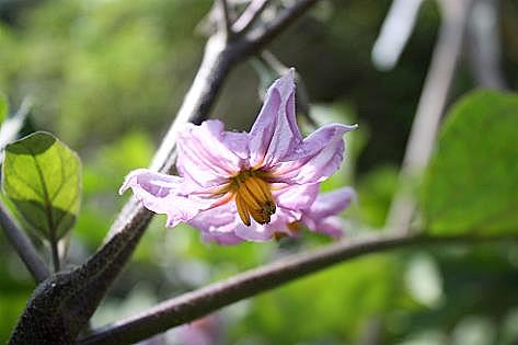 長ナスの花♪