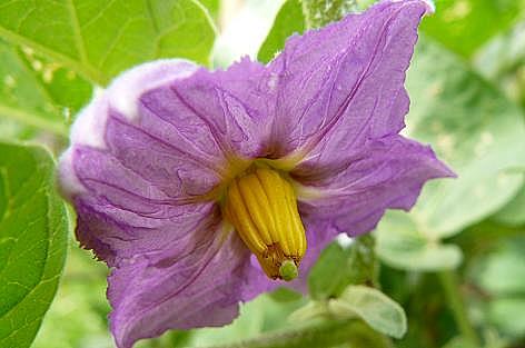 カレーナスの花♪