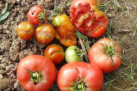 やられたトマト