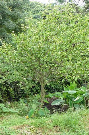 梨ナシの木