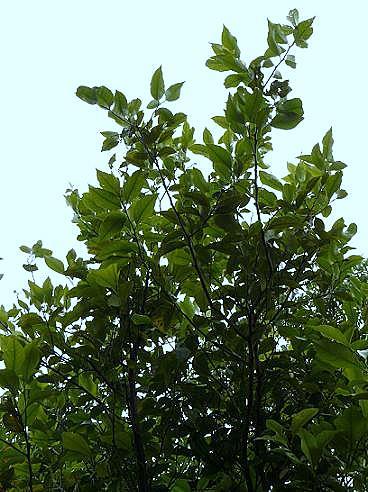レモンの木♪