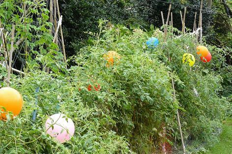 トマトに風船