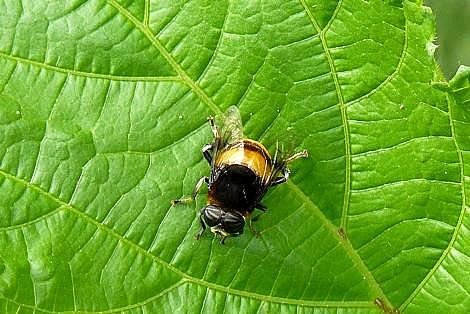 ハチの仲間?