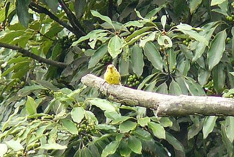黄色い小鳥♪