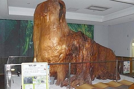 皇后杉の根株