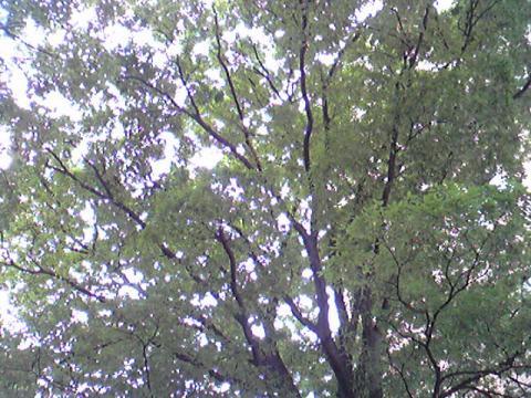 つくつくぼうし~♪いっぱいこの木にたかってるんだよ写真では見えないけどね