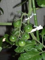 ミニトマトの実02