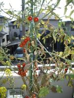 ミニトマトの様子02