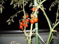 ミニトマトの様子01
