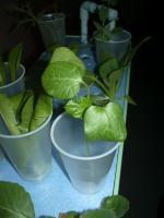 ハイポニカ栽培のオクラ1