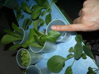 ハイポニカ栽培のオクラ2