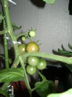 ミニトマトの色01