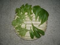 レタスの葉摘み