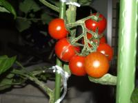 ミニトマト実割れ02