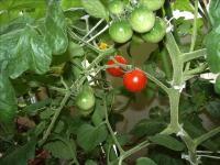 ミニトマトの実04