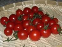 ミニトマトの収穫02