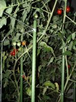ミニトマト05