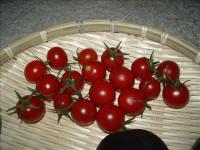 ミニトマト07