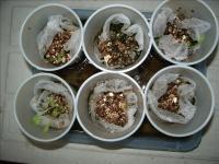 カップ栽培のレタス01