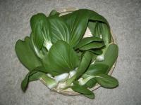 チンゲン菜の収穫01