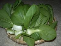 チンゲン菜の収穫02