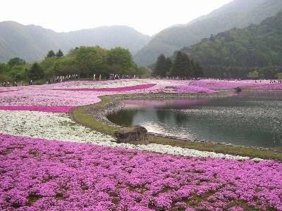 富士桜まつりの風景②