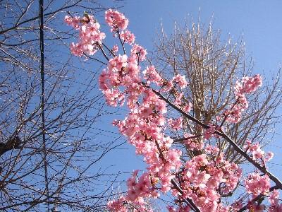 白根の河津桜①