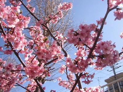 白根の河津桜②