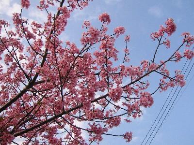 09河津桜①