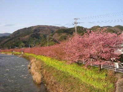 09河津桜