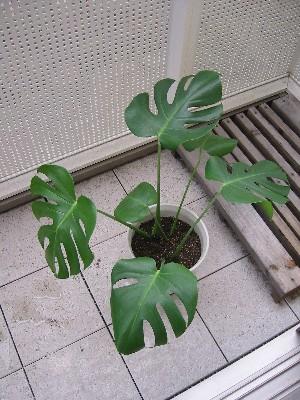 モンステラの鉢植え(挿し木)