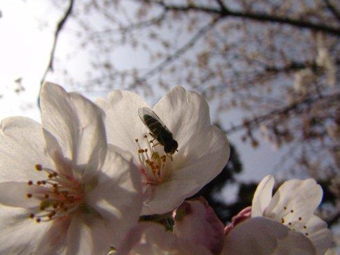 さくらとハチ