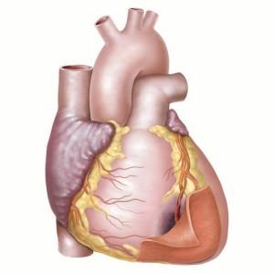 再生医療と心臓