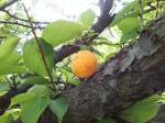 熟れ過ぎた梅